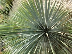 Yucca  rostrata