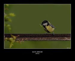 Blue Tit - Dinner Time