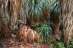 Pandani Plants 2
