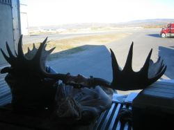 Picking up moose meat and antlers at Wright air in Fairbanks.