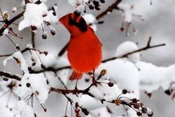 Cardinal in a flowering tree.
