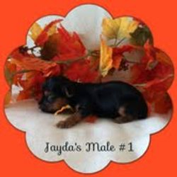 """""""Jayda"""" and """"Chipper's"""" Male Puppies"""