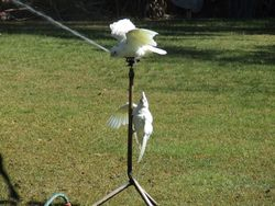 Corella's on the sprinkler