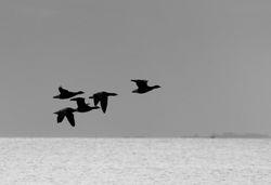 Bernaches cravants - Barnacle geese