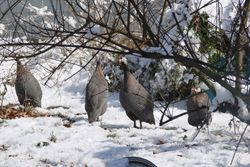 Guineas in the snow
