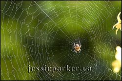 Spider in Web,Ontario
