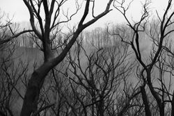 Burnt Forest n Fog 1