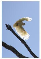 Galah on wing