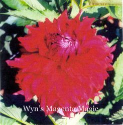 Wyn's Magenta Magic-B SC DR