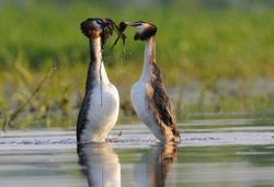 Parade de grèbes huppés - Crested grebes