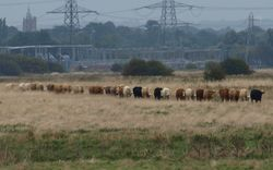 Orderly cows!