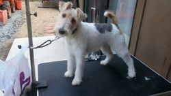 Wire-Hair Fox Terrier
