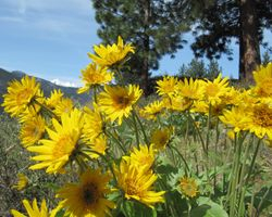 Arrowleaf Balsamroot Wild Flowers