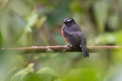 Slaty-backed Chat-Tyrant