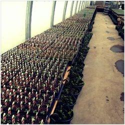 Nico's Home Grown Geraniums...