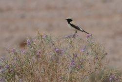 Desert Wheatear  (TRAQUET DU DESERT)