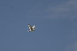 Herring Gull (Goeland argente)