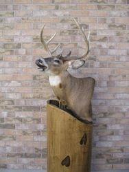 Flehming Buck
