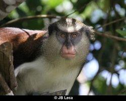 Adult male mona monkey, Grand Etang NP (2014)