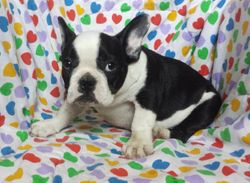 CALIX:  $3095 intact with full AKC Breeding Rights, Male, Blue and White, large and stocky, born 5-1-16 to Cherry Pie and Jack, great conformation and color genes