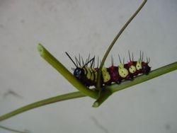 Caterpillar / Rups