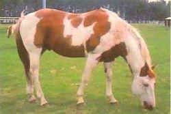 APHA Stallion Eagle Supreme