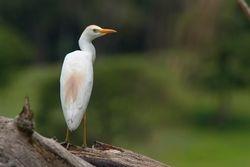 Garca-vaqueira (Bubulcuus ibis) - Garca-boiadeira