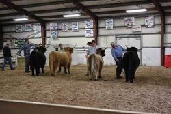 Senior Heifers