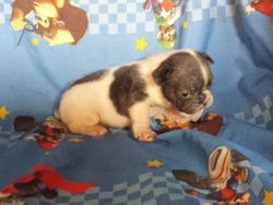 BoBo: $2895 companion after neuter binder rebate, male, AKC French Bulldog, light blue pied, born 4-15-17 to Berry Pie and Geronimo