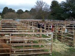 Beef Week cattle on display