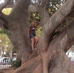 A giant fig tree in Cascais park