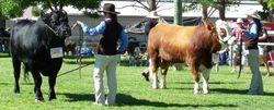Grand Champion Bull judging