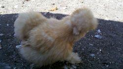 Buff hen