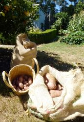 Potato Harvest 2013