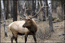 Elk,Alberta