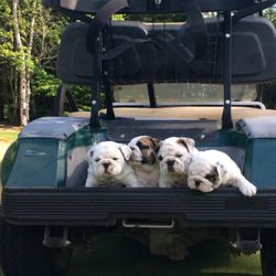 Puppies and golf