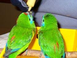 Fig Parrots