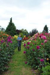 Walt in his favorite place...the dahlias