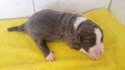 Femea 02 AZUL -  VENDIDA - 99201-1821 whatsapp