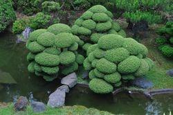 Tree, Japanese Tea Garden