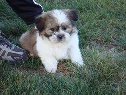 Myla 8 weeks old