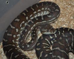 A Second Centralian Carpet Python