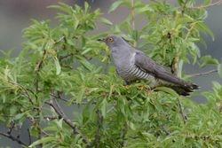 Eurasian Cuckoo  (COUCOU GRIS)