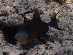 Triggerfish at Sandy Cay