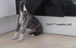 Griff x 7 weeks weight 3.8 kg