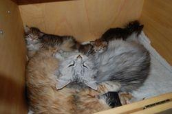 Idyll, der to kattemødre hjelper hverandre med sine kattunger!