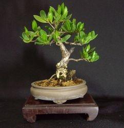 Conocarpus erectus, (mangle boton)