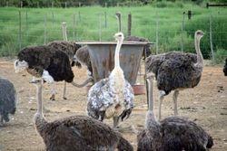 Ostrich Farm at Oudtshoorn