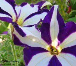 Purple & White Variegated Petunia