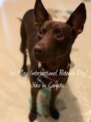 1st May is international Podenco Day